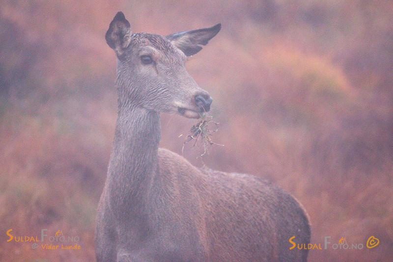 Hjortekolle i skodde