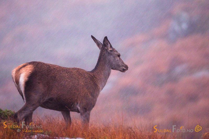 Hjortekolle i regnvær