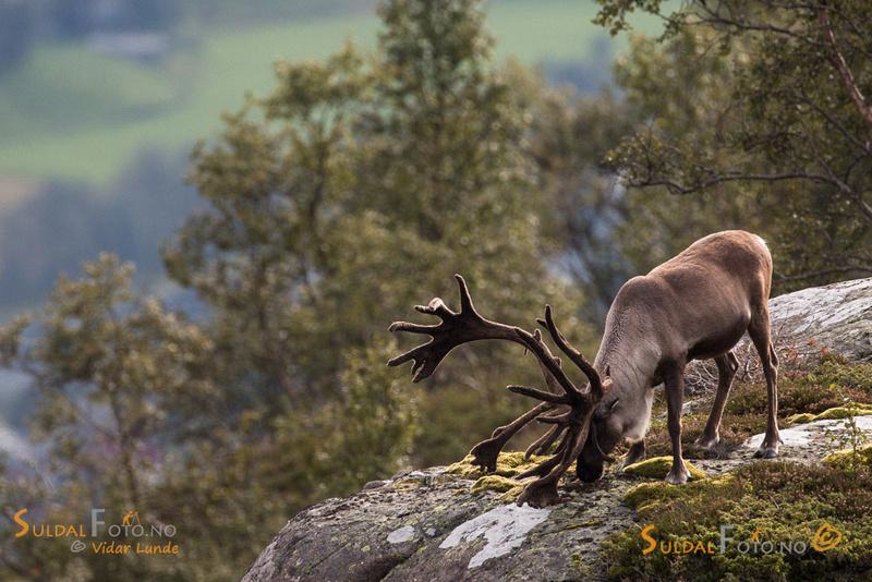 Stor reinsdyrbukk