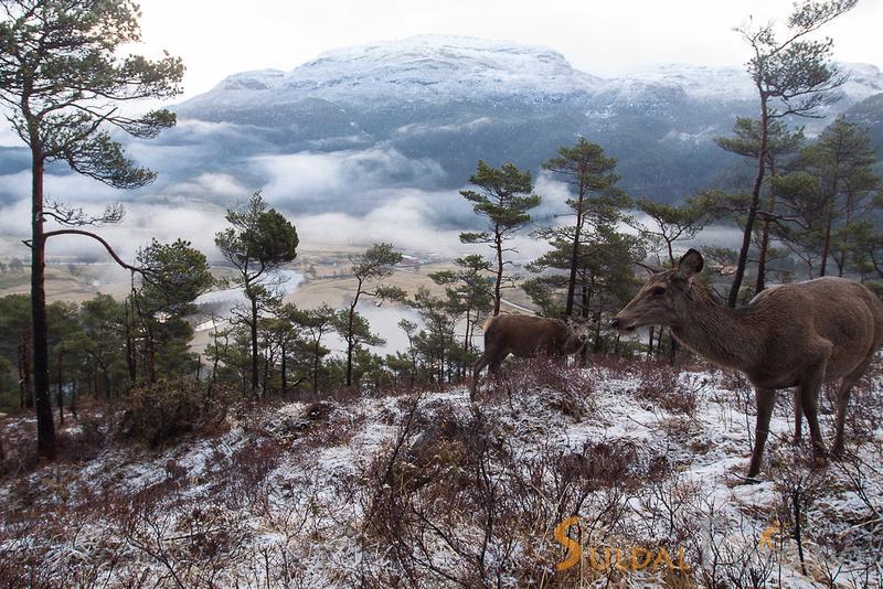 Hjortekolle og kalv i skogen