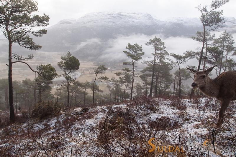 Hjortekolle i skoglandskap
