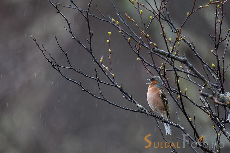 Syngende bokfink i regnværet
