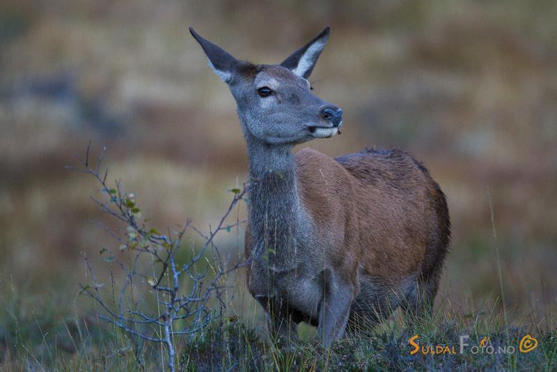 Beitende hjortekolle