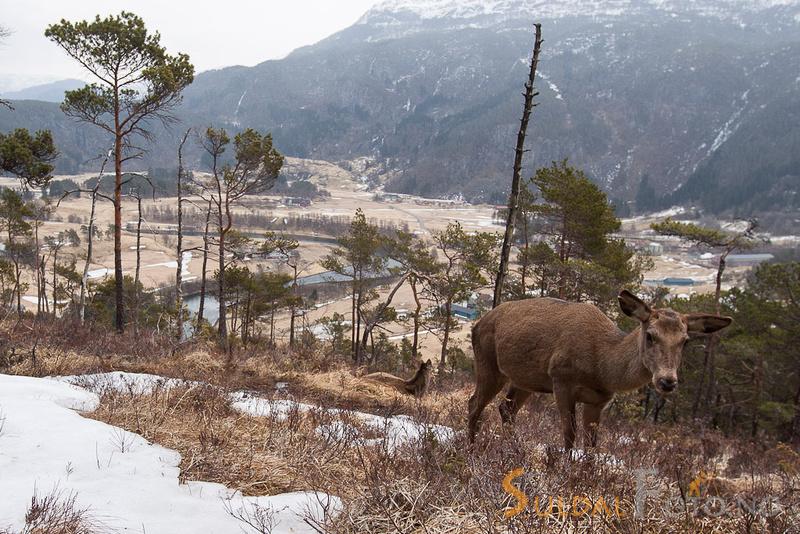 Hjortekolle og kalv med kulturlandskap i bakgrunnen