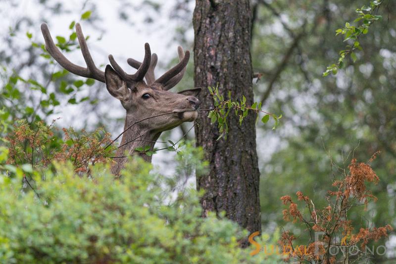 Beitande hjort