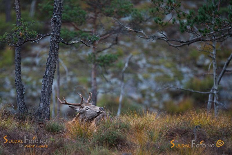 Liten hjortbukk i sølegrop