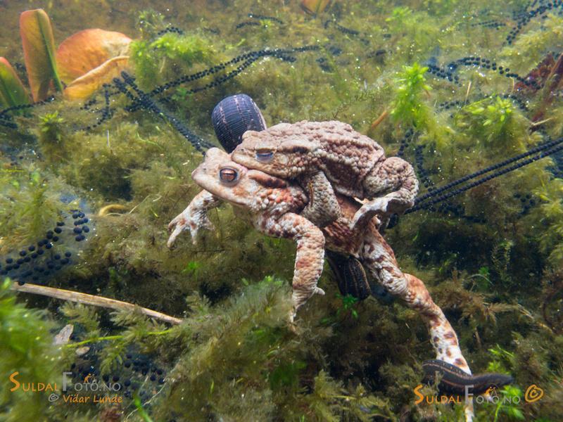 Blodigle på padder under vann