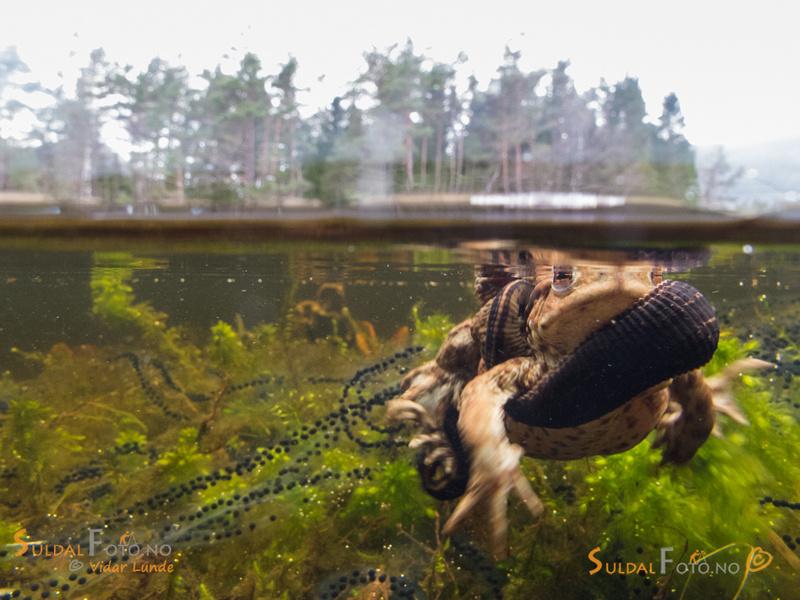 Blodigle på padder over og under vann