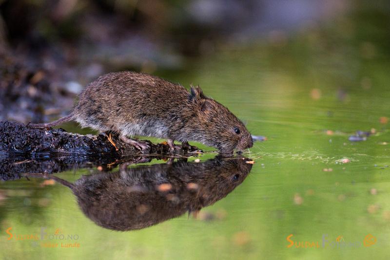 Markmus ved vanndam