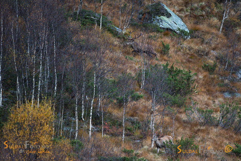 16-takkers hjort jager en 6-takker