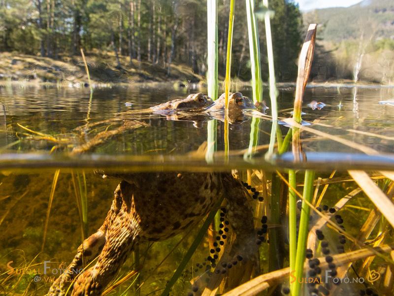 Paddebryllupet sett både over og under vannflaten