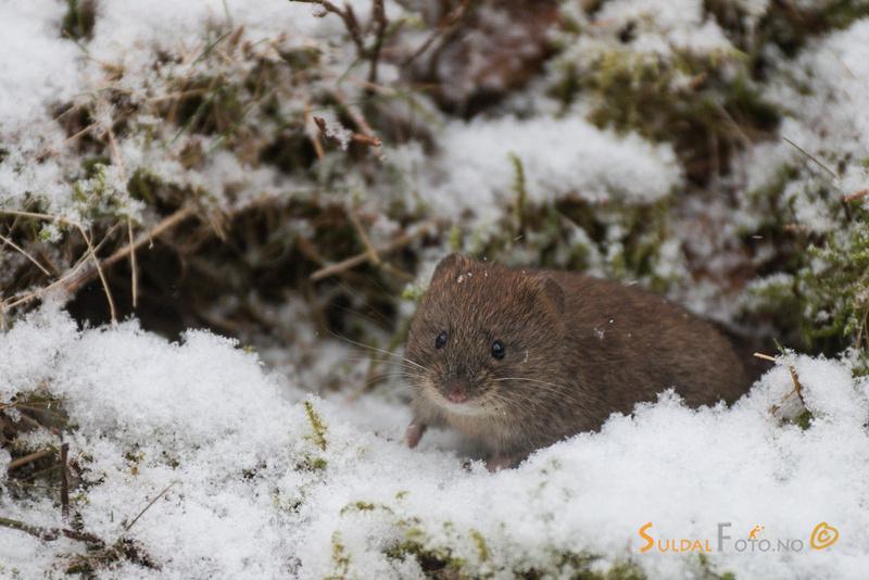Klatremus i snøen