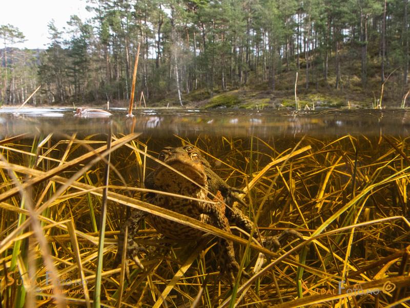 Over-under-vanns bilde av paddebryllupet