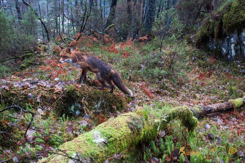 Rev i skogen