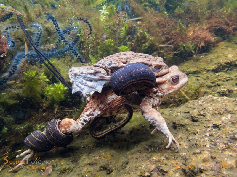 Blodigler på padder under vann
