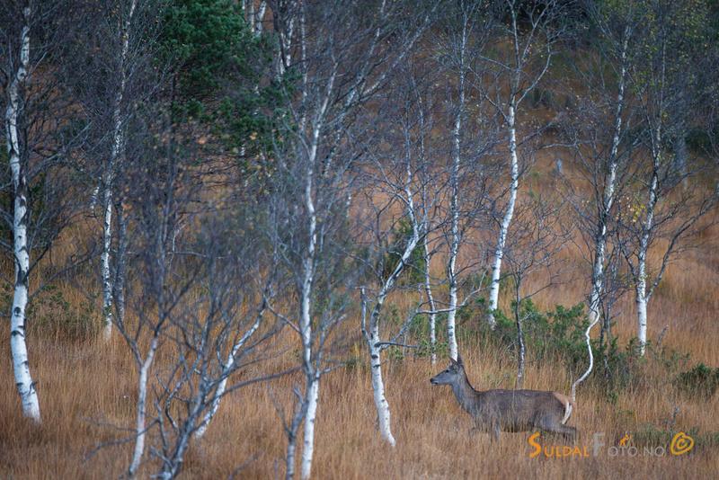 Hjortekolle over myr i åpne bjørkeskog