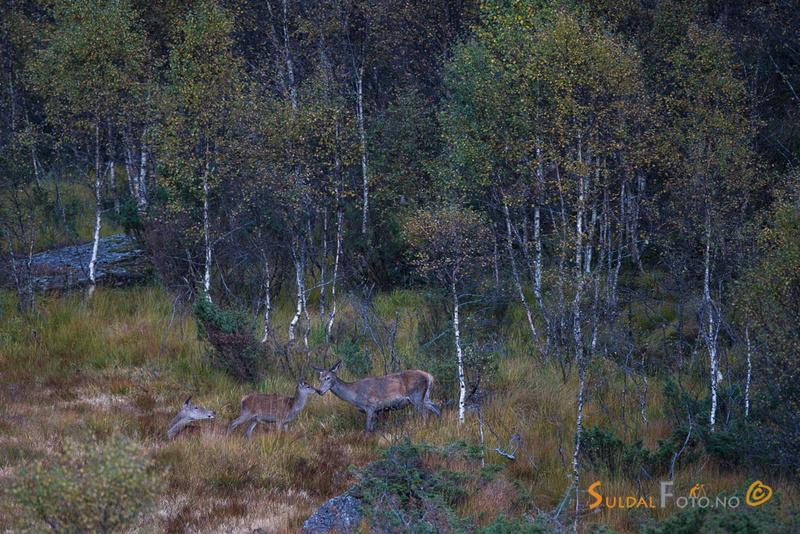 Hjortkolle og kalv hilser på hverandre
