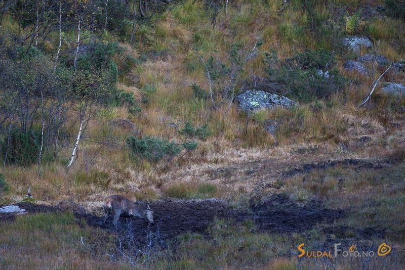 Hjortekolle sparker opp søle i gropa
