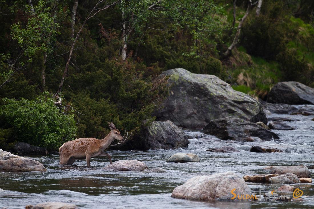 Hjortekolle som krysser elva